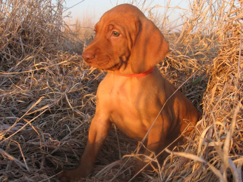 Quail Ridge Vizsla Llc Home